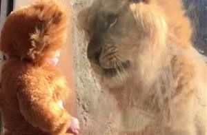The incredible moment an 11-month-old baby dressed as lion meets the real deal at the Atlanta zoo