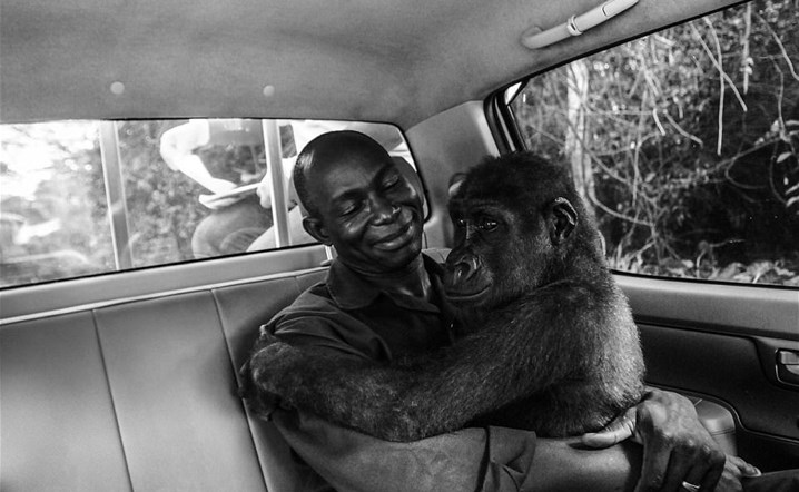 Image of a gentle moment between a gorilla and a rescuers!