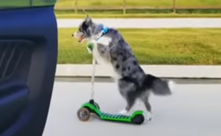 Dog beats everyone at the In My Feelings challenge by dancing on a scooter