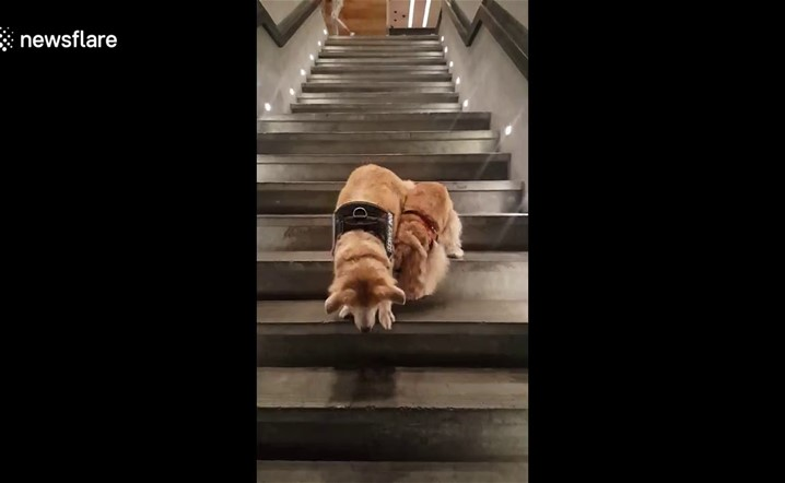 Service dog patiently guides blind dog down steep stairs
